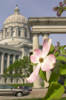 Dogwood on Capitol Grounds